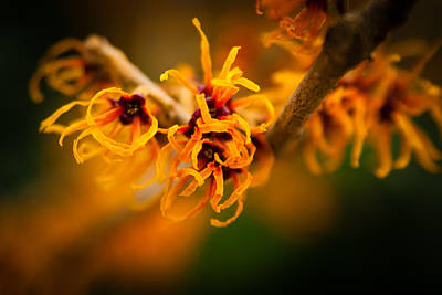 Photograph - Witch Hazel by Erin Kohlenberg