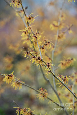 Photograph - Witch Hazel Jermyns Gold by Tim Gainey