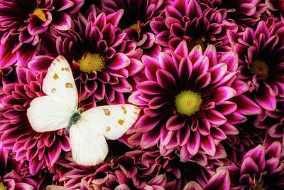 Pom Photograph - With Butterfly On Poms Spray by Garry Gay