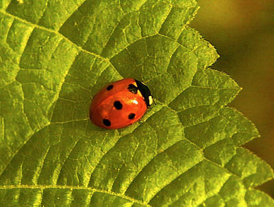 Radnor Lake Photograph - With Love - Ladybug by Theresa  Asher
