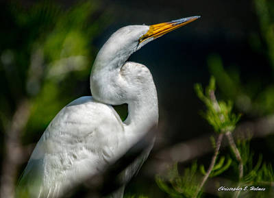 Print featuring the photograph White Egret 2 by Christopher Holmes