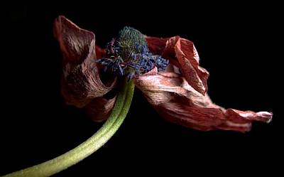 Photograph - Withering Anemone by Elsa Marie Santoro