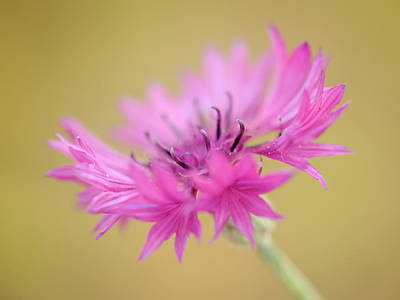 Photograph - Withering Cornflower by Alexander Kunz