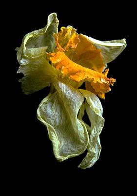 Photograph - Withering Daffodil by Elsa Marie Santoro