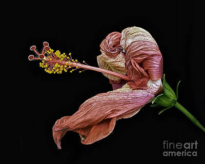 Photograph - Withering Hibiscus by Walt Foegelle