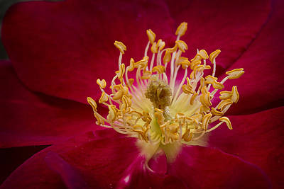 Photograph - Within A Flower by Morgan Wright