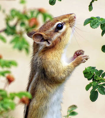 Photograph - Within Reach - Chipmunk - Cropped by MTBobbins Photography