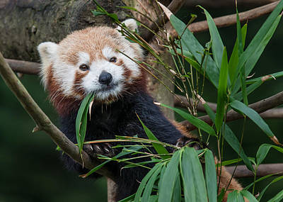 Photograph - Wizened Red Panda by Greg Nyquist