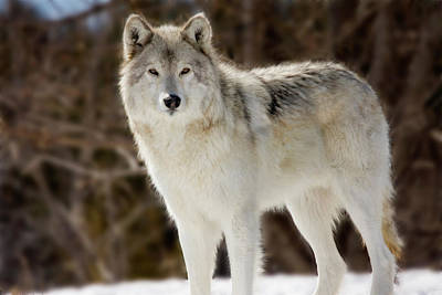 Photograph - Wolf - Loup by Michel Legare