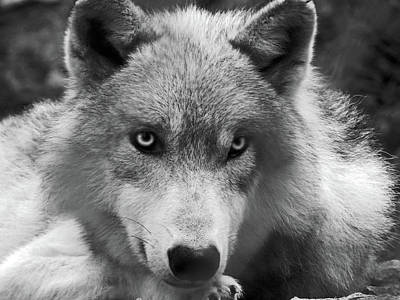 Photograph - Wolf 1 by Jamie Johnson
