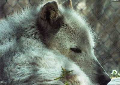 Photograph - Wolf At Rest by Cindy Croal