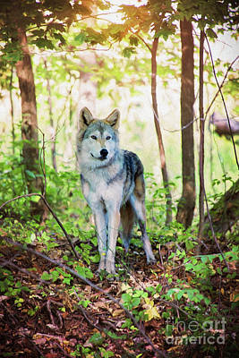 Photograph - Wolf At The Forest Edge by Sharon McConnell