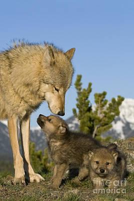 Wolf Pup Photograph - Wolf Babysitter by Jean-Louis Klein & Marie-Luce Hubert