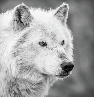 Photograph - Wolf Bw IIiv by Athena Mckinzie