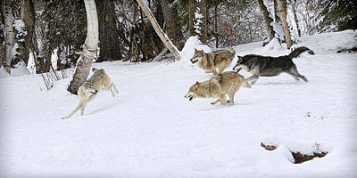 Photograph - Wolf Chase by Steve McKinzie