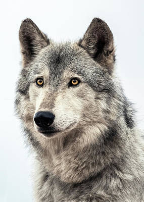 Photograph - Wolf by Dawn Key