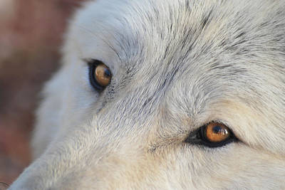 Art Print featuring the photograph Wolf Eyes by Carolyn Dalessandro