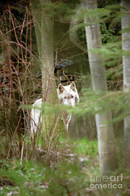 Photograph - Wolf Eyes by Rose De Dan