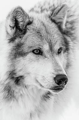 Photograph - Wolf Face Close Up II by Athena Mckinzie