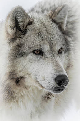 Photograph - Wolf Face IIi by Athena Mckinzie