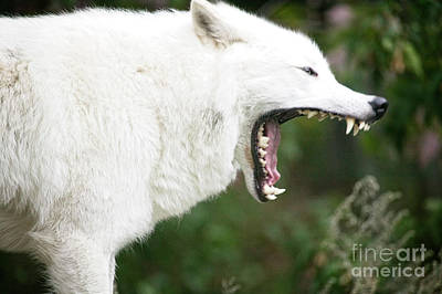 Photograph - Wolf Fangs by Scott Kemper