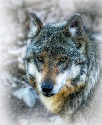 Wolf Gaze Art Print by Elaine Malott