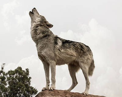 Photograph - Wolf Howl by Dawn Key
