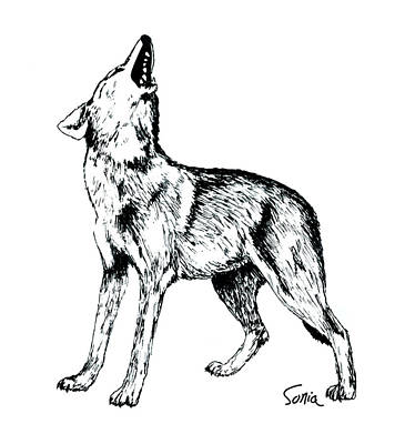 Drawing - Wolf Howling by Sonia Wilkinson