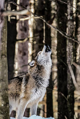 Photograph - Wolf Howling by Tracy Winter