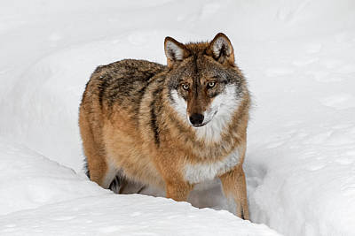 Photograph - Wolf Hunting In The Snow by Arterra Picture Library