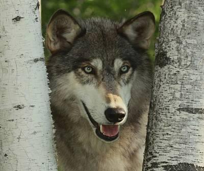 Wolf In The Birch Trees Art Print by Myrna Bradshaw