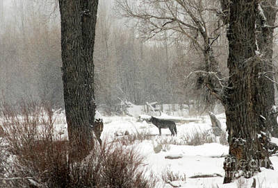 Photograph - Wolf In The Forest by Deby Dixon