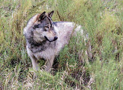 Photograph - Wolf In The Grass by Dawn Key