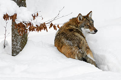 Photograph - Wolf In The Snow by Arterra Picture Library
