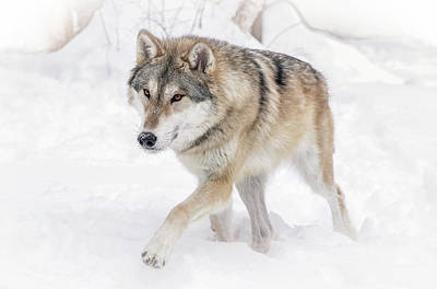 Photograph - Wolf In The Winter Snow  by Athena Mckinzie