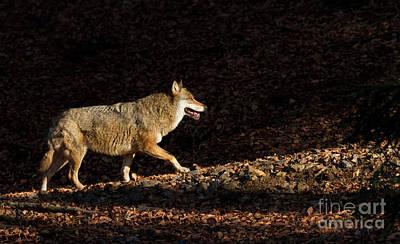 Wolf In Woodland Art Print by Richard Garvey-Williams