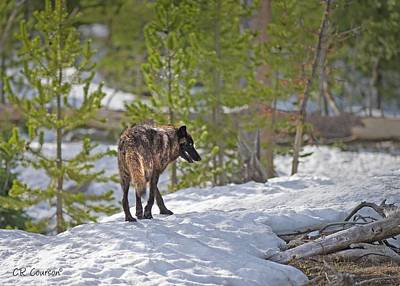 Photograph - Wolf In Yellowstone by CR  Courson