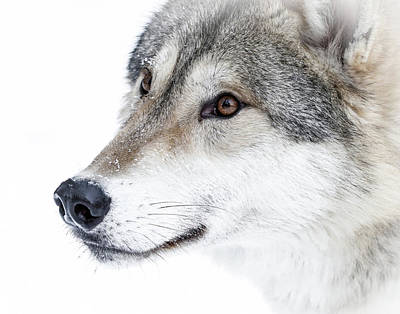 Photograph - Wolf In Your Face by Athena Mckinzie