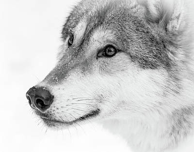Photograph - Wolf In Your Face Bw by Athena Mckinzie