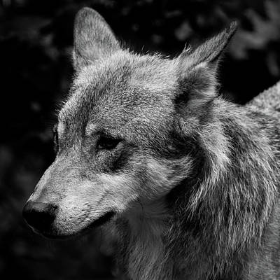 Photograph - Wolf by Kathryn Bell