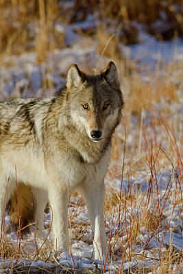 Photograph - Wolf by Mark Miller