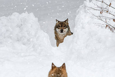 Photograph - Wolf Meeting Pack Member by Arterra Picture Library