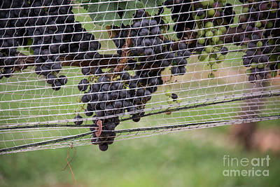 Photograph - Wolf Mountain Grapes by David Bearden