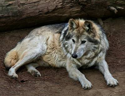 Mexican Wolf Photograph - Wolf by Odd Jeppesen
