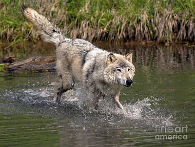 Photograph - Wolf On The Move by Art Cole