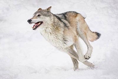 Photograph - Wolf On The Run by Athena Mckinzie
