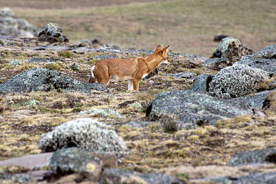 Photograph - Wolf On The Sanetti Plateau, Ethiopia by Aidan Moran