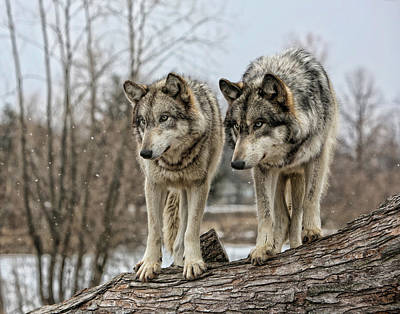 Photograph - Wolf Pair by Shari Jardina