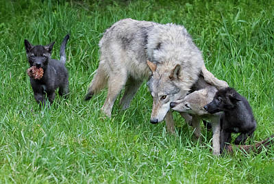 Photograph - Wolves At Play by Art Cole