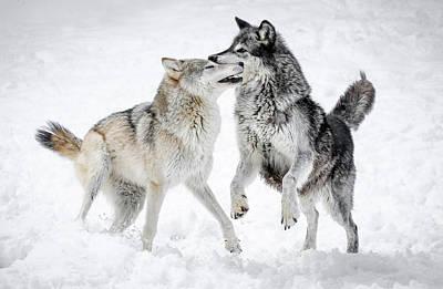 Photograph - Wolf Play IIi by Athena Mckinzie